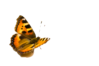 butterfly_istock